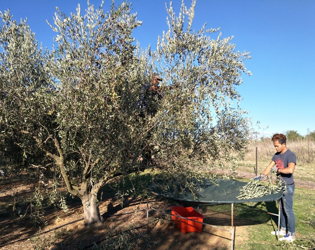 The good oil on EVOO (extra virgin olive oil)