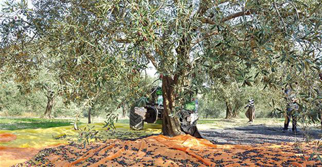 Board established to oversee Turkey's olive groves amid opposition criticism