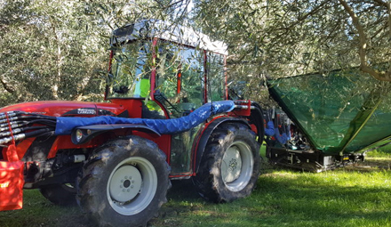 Sunless season dries up olive oil production