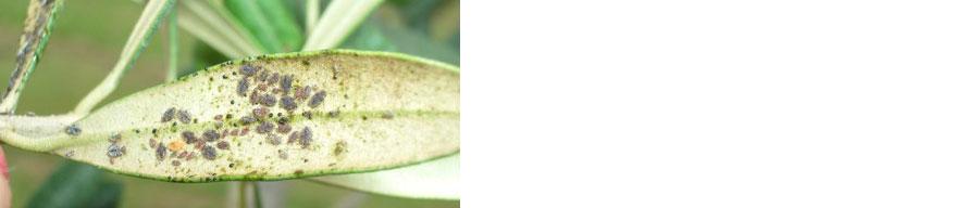 Olive grower agri-chemical use survey