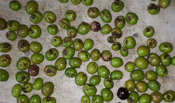 New fungal disease found on olives in Australia